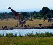 Girafees  in  Aberdares