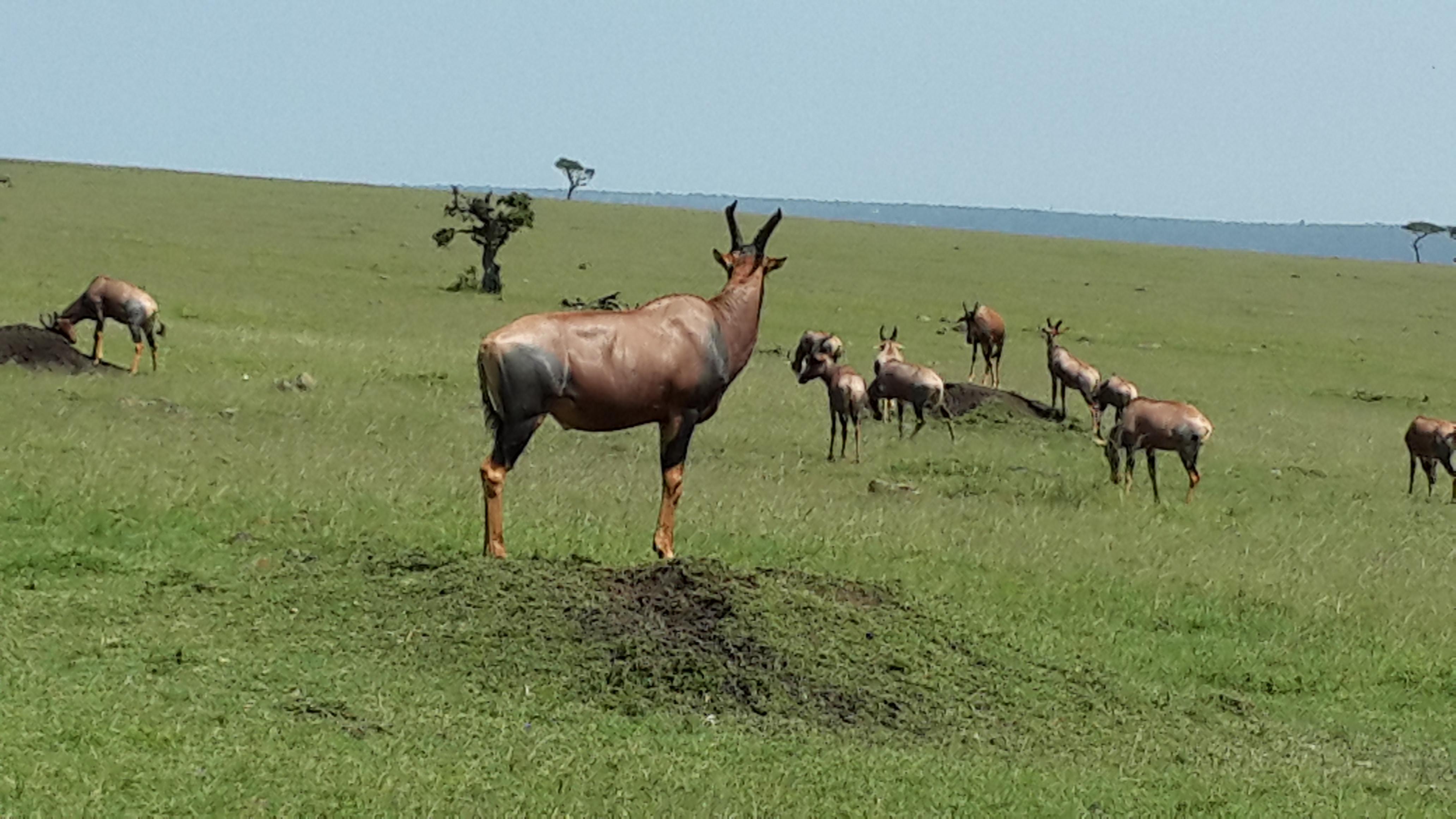 Topi Antelope#bluejeansantelope#Masaimara migration