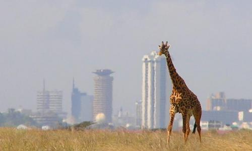 Nairobi National park-The park in the City.