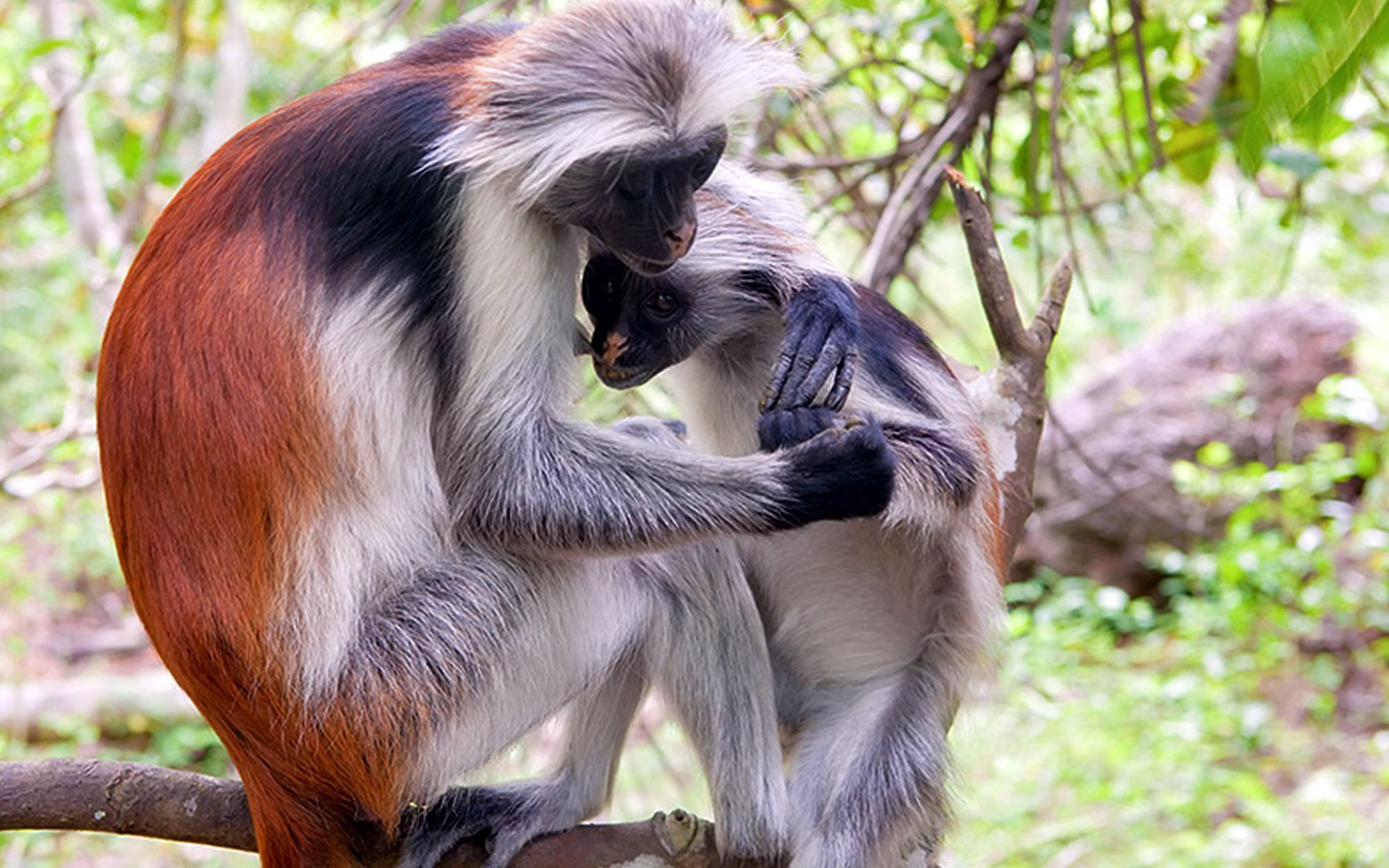 Red Colubus Monkey in Tana river primate reserve